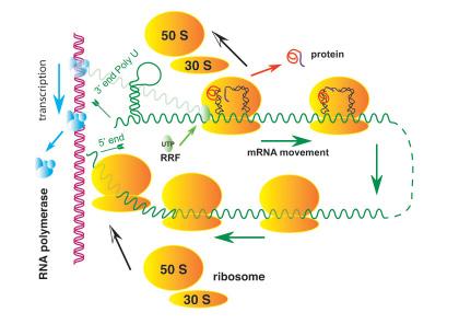le Ribosome chez les Procaryotes (structure et schéma)