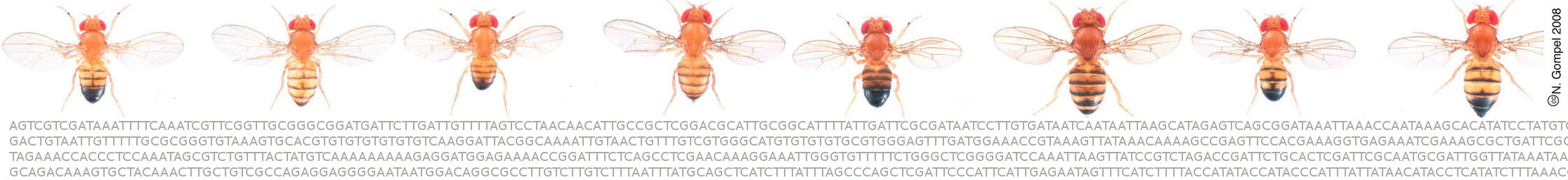 pictures of adult Drosophila flies
